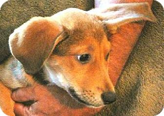 Shepherd (Unknown Type)/Hound (Unknown Type) Mix Puppy for adoption in San Antonio, Texas - Trixie