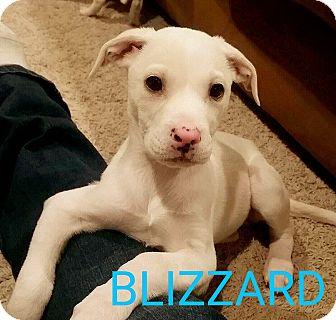 German Shepherd Dog Mix Puppy for adoption in Garden City, Michigan - Blizzard