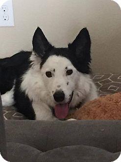 Border Collie Mix Dog for adoption in Allen, Texas - Tomas