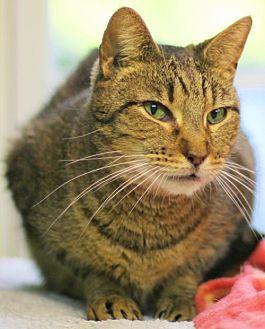 Domestic Shorthair Cat for adoption in Lovingston, Virginia - Lynx