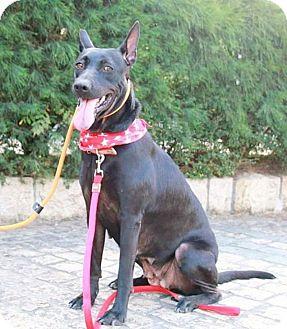 Labrador Retriever Mix Dog for adoption in Castro Valley, California - Miggie