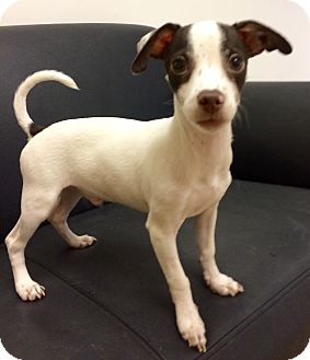 Chihuahua/Rat Terrier Mix Puppy for adoption in Mission Viejo, California - Mr. Bux