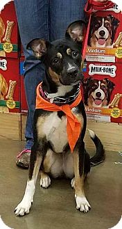 German Shepherd Dog/Hound (Unknown Type) Mix Dog for adoption in Akron, Ohio - Mercury