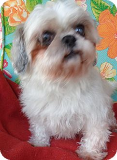 Shih Tzu Dog for adoption in Crump, Tennessee - Suzie