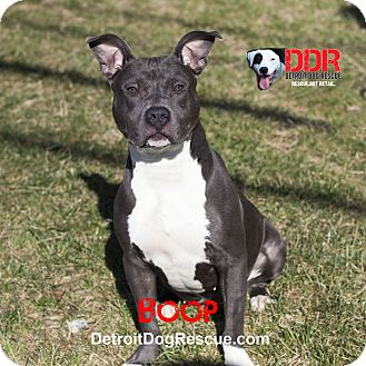 American Pit Bull Terrier Mix Dog for adoption in St. Clair Shores, Michigan - Boop