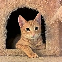 Adopt A Pet :: Scanlin - Rancho Cucamonga, CA