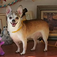 Chihuahua Dog for adoption in Yucaipa, California - Brownie