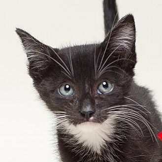 Domestic Shorthair Cat for adoption in Pt. Richmond, California - TUESDAY
