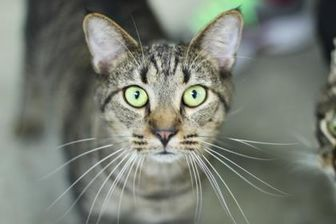 Domestic Shorthair/Domestic Shorthair Mix Cat for adoption in Manteo, North Carolina - Chartreuse
