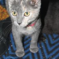 Domestic Shorthair/Domestic Shorthair Mix Cat for adoption in Russellville, Kentucky - Fiest