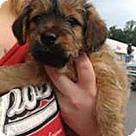 Adopt A Pet :: Yorkie Ralph