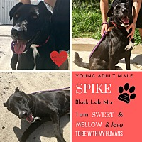 Adopt A Pet :: Spike - South Padre Island, TX