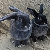 Adopt A Pet :: Grace and Gandalf - Alexandria, VA