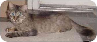 Domestic Mediumhair Cat for adoption in Houston, Texas - Chance