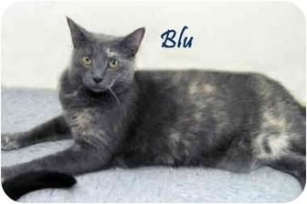Domestic Shorthair Cat for adoption in Chester, Maryland - Blu