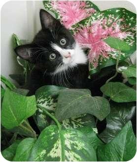 Domestic Shorthair Cat for adoption in Columbus, Nebraska - Olivia