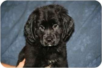 Cocker Spaniel/Labrador Retriever Mix Puppy for adoption in West Milford, New Jersey - WESTLEY