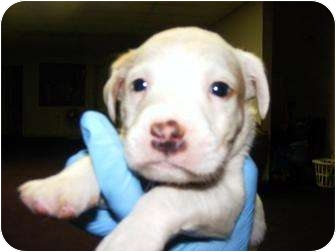 Catahoula Leopard Dog/Retriever (Unknown Type) Mix Puppy for adoption in Palm Harbor, Florida - Lilys babies