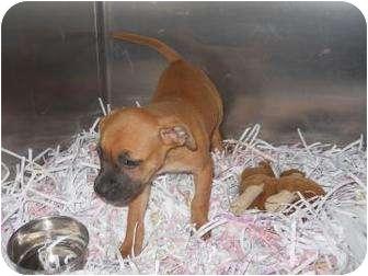 Terrier (Unknown Type, Small) Mix Puppy for adoption in Edwardsville, Illinois - Cori