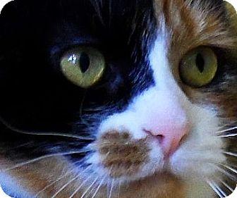 American Shorthair Cat for adoption in Spencer, New York - Jewel