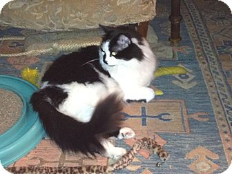 Domestic Longhair Cat for adoption in Speonk, New York - Shadow