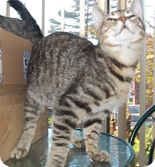 Domestic Shorthair Cat for adoption in Acme, Pennsylvania - Brisko