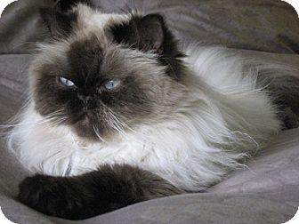 Himalayan Cat for adoption in Davis, California - Moosh