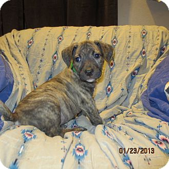 Retriever (Unknown Type)/Catahoula Leopard Dog Mix Puppy for adoption in Westminster, Colorado - Kiwi