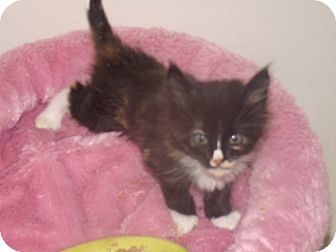 Domestic Mediumhair Kitten for adoption in Scottsdale, Arizona - Vicki