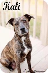Plott Hound/Retriever (Unknown Type) Mix Dog for adoption in Crown Point, Indiana - Kali