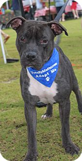 American Pit Bull Terrier Mix Puppy for adoption in Snellville, Georgia - Baloo