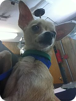 Chihuahua Mix Dog for adoption in Waldorf, Maryland - Taco
