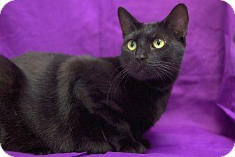 Domestic Shorthair Cat for adoption in Houston, Texas - Kif