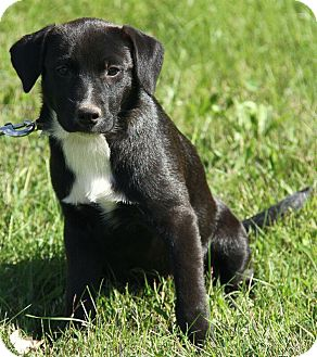 Border Collie/Labrador Retriever Mix Puppy for adoption in Spring Valley, New York - Brook