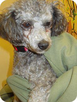 Poodle (Miniature) Dog for adoption in Kansas city, Missouri - FiFi