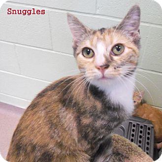 Domestic Shorthair Kitten for adoption in Slidell, Louisiana - Snuggles