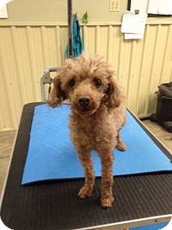 Toy Poodle Dog for adoption in Bowmanville, Ontario - Cherri