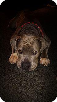 American Staffordshire Terrier Mix Dog for adoption in Naples, Florida - Dori