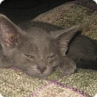 Adopt A Pet :: CInder - Dallas, TX