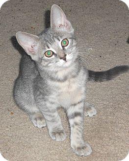 Domestic Shorthair Kitten for adoption in Colmar, Pennsylvania - Nancie