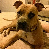 American Pit Bull Terrier Mix Dog for adoption in San Diego, California - Courtesy Listing: Grayson