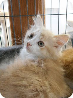 Domestic Longhair Kitten for adoption in China, Michigan - Rookie