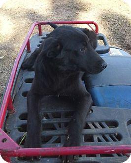 Labrador Retriever/Border Terrier Mix Puppy for adoption in Warwick, Rhode Island - Fat Joe