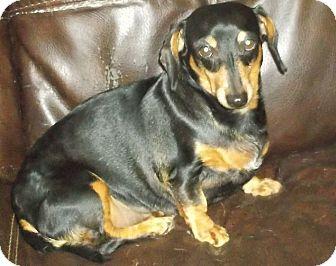 Dachshund Dog for adoption in Georgetown, Kentucky - Winnie
