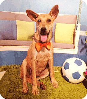 Labrador Retriever Mix Dog for adoption in Castro Valley, California - Nacho