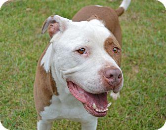American Bulldog/American Staffordshire Terrier Mix Dog for adoption in Santa Barbara, California - Pedro