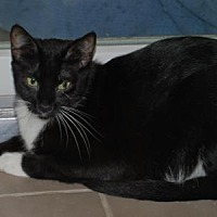 Domestic Shorthair Cat for adoption in Woodstock, Virginia - Google