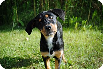 Hound (Unknown Type) Mix Puppy for adoption in Rochester Hills, Michigan - Willow