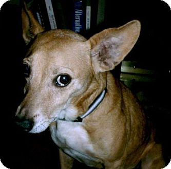 Corgi Mix Dog for adoption in DeLand, Florida - Buddy