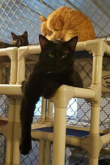 Domestic Shorthair Cat for adoption in Geneseo, Illinois - Tate